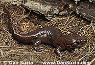 California Giant Salamander, Dicamptodon ensatus