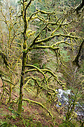 Moss and lichen smothers trees in Oneonta Gorge, in Columbia River Gorge National Scenic Area, Oregon, USA.