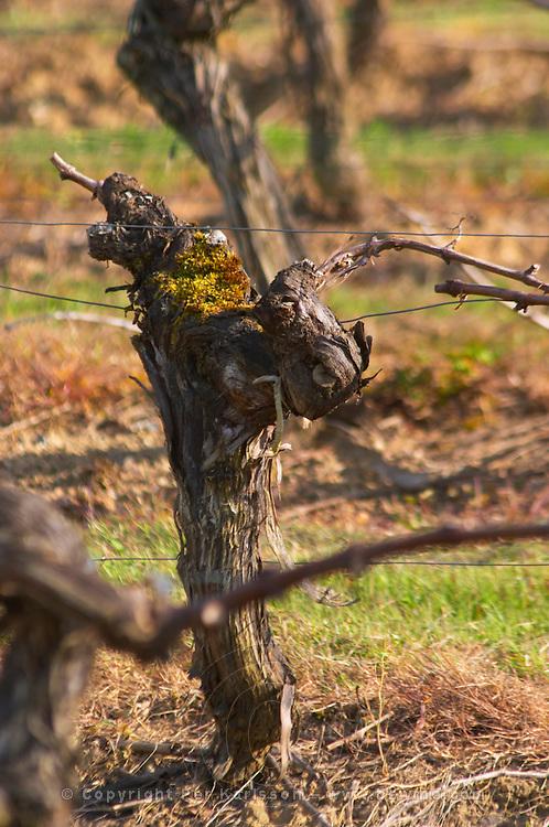 guyot simple training old vine vineyard chateau pey la tour bordeaux france