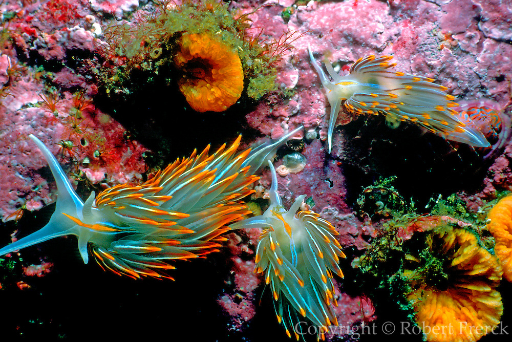 UNDERWATER MARINE LIFE EAST PACIFIC: Northeast SNAILS: Nudibranch sea slug Hermissenda crassicornis