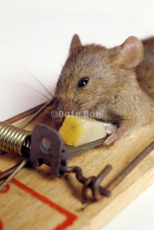 mouse stealing cheese