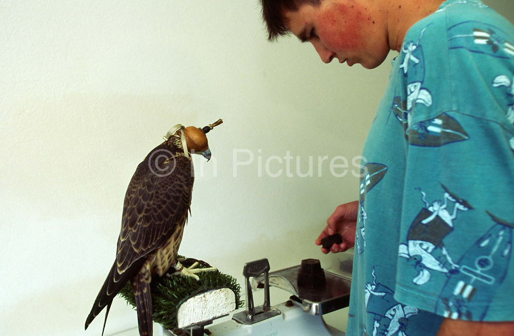 A technician weighs a Peregrine Falcon at the research centre at Hunting Falcons International, part of International Wildlife Consultants (UK) Ltd. The group is a world leader in specialist breeding programmes for rare, wild birds of prey.