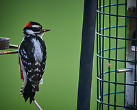 Downy Woodpecker. Image taken with a Nikon D5 camera and 600 mm f/4 VR lens (ISO 1600, 600 mm, f/5.6, 1/640 sec).