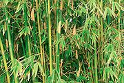 Bamboo, Hawaii<br />