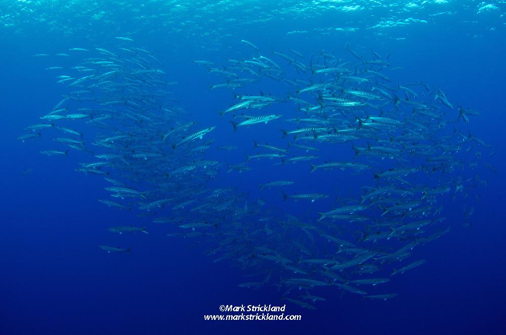 A school of Chevron Barracuda, Sphyraena genie, hovers in mid-water over a site called Black Magic, Barren Island, Andmaman Islands, India, Andaman Sea