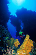 diver and orange elephant ear sponges, <br /> Agelas clathrodes, Hogsty Reef,<br /> Bahamas ( Western Atlantic Ocean )  MR 161