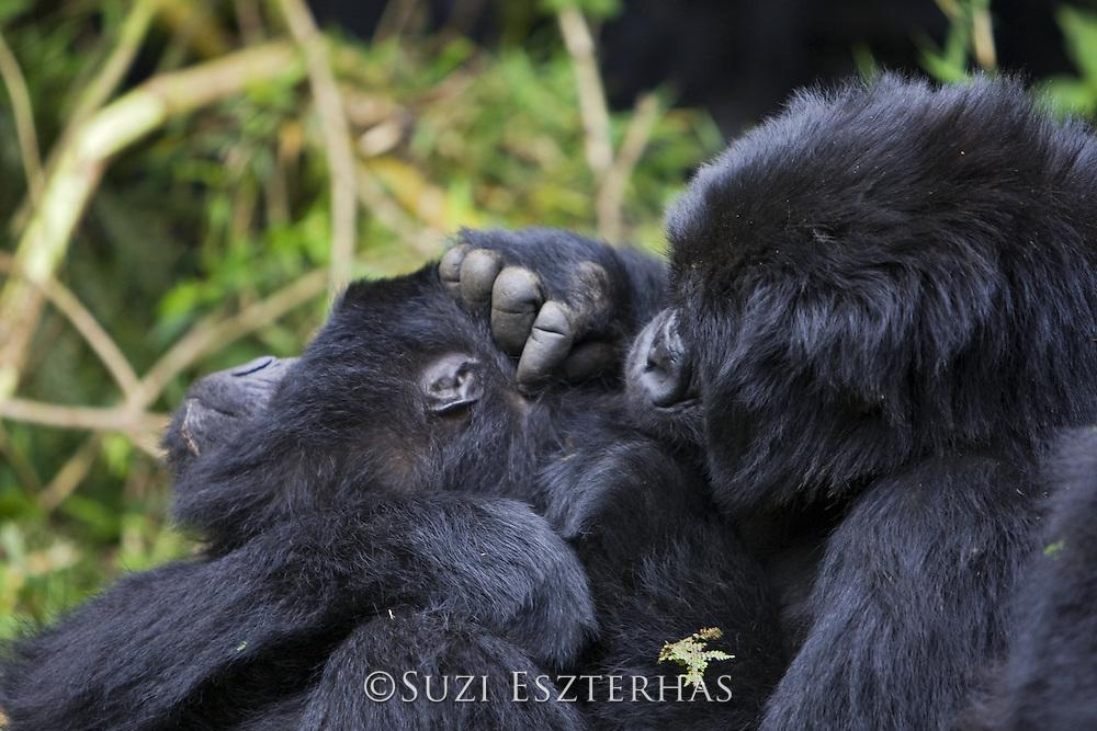 Mountain Gorilla<br /> Gorilla gorilla berengei<br /> Social grooming<br /> Virunga Volcanoes National Park, Rwanda<br /> *Endangered Species