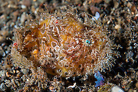 """Striped Frogfish, """"hairy variation""""<br /> <br /> Shot in Indonesia"""