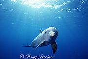 JoJo - a wild lone sociable bottlenose dolphin or ambassador dolphin, Tursiops truncatus, Turks & Caicos Islands ( Caribbean Sea / Western Atlantic Ocean )