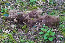 """A tangled """"X&Y Angel"""" branded wig lies among the leaves and bramble shoots at a dogging spot - a place where people meet to have sex with strangers, just off the A26 at Eridge near Tonbridge Wells in Kent. March 27 2019."""