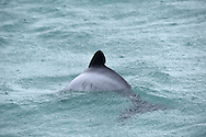 Hector's Dolphin - Cephalorhynchus hectori