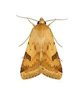 73.074 (2403)<br /> Bordered Straw - Heliothis peltigera