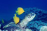 green sea turtle, Chelonia mydas ( Threatened Species ) being cleaned of algae by yellow tangs, Zebrasoma flavescens, Ahihi Bay Marine Reserve, Maui, Hawaii ( Central Pacific Ocean )