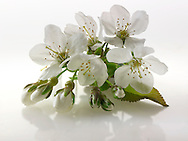 Stock Photos of close up of cherry blossom on a white background. Funky stock photos library