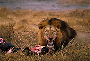 Lion on kill, a wildebeest. Ngorongoro Crater, Tanzania.
