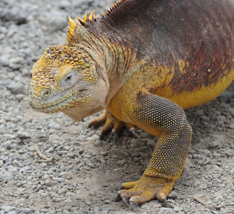 A male Galapagos land iguana (Conolophus subcristatus). Isla Plaza Sur, Santa Cruz, Galapagos, Ecuador