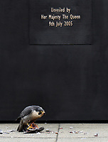 A falcon having a Christmas lunch at the Monument of the Women of World War II in Westminster photo by <br /> Krisztian Elek