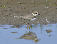 Little Ringed Plover Charadrius dubius - Juvenile. L 15-17cm. Slim-bodied little plover that lacks white wingbar. Sexes are similar. Summer adult has sandy brown upperparts and white underparts with black collar and breast band, and black and white markings on head. Has black bill, yellow legs and yellow eyering. Female has duller black elements of head plumage than male. Juvenile has black elements of plumage replaced by sandy brown. Breast band is usually incomplete, leg and eyering colours are dull, and head lacks pale supercilium seen in juvenile Ringed Plover. Voice Utters a pee-oo call. Status Locally fairly common, nesting around margins of flooded gravel pits and other manmade sites. Migrants turn up at freshwater sites outside breeding range and sometimes on coast.