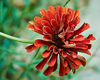 Zinnia. Image taken with a Nikon 1 V3 camera and 70-300 mm lens.