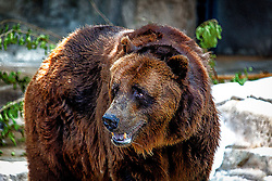 A Brown Grizzly Bear at the Saint Louis Zoo with a bit of textured details