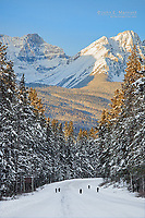 Wild wolf packl in the Canadian Rockies near Lake Louise, Banff National Park