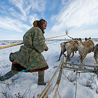 North of the Arctic Circle in Russia, Piotr Terentév, a nomadic Komi reindeer herder, drives his team across the tundra, where spring snow is soft enough to make travel difficult.