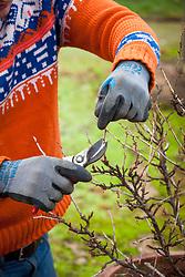 Pruning a gooseberry bush in winter