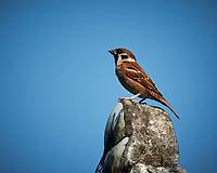 Eurasian Tree Sparrow. Chua Thien Mu Buddhist Temple, Hue.  Image taken with a Nikon 1 V3 camera and 70-300 mm VR lens (ISO 200, 272 mm, f/5.6, 1/1600 sec).