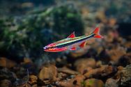 Duskystripe Shiner<br /> <br /> Isaac Szabo/Engbretson Underwater Photo