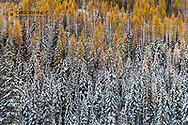 Autumn larch trees with pine forest full of recent snow in Glacier National Park, Montana, USA