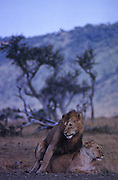 African wildlife, Kenya, Maasai Mara National Park, wildlife conservation, wildlife in natural habitat, animals in natural environment,