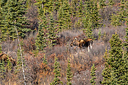 A female Alaskan moose forage on a slope during autumn in Denali National Park, McKinley Park, Alaska.