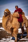 Bactrian camel race, 25km across winter landscape of Gobi desert during Bulgan's 'festival of a thousand camels' , Mongolia