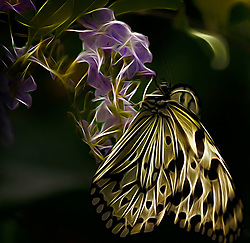 You can find this beautiful Paper Kite Butterfly at the Saint Louis Zoo Butterfly House.