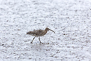 Curlew, Numenius arquata largest European wading bird with long curved bill beak walking in mudflats at shoreline, Norfolk, UK