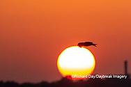 00783-01816 Osprey (Pandion haliaetus) in flight at sunset Rend Lake Jefferson Co. IL