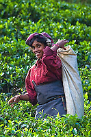 "Tea pickers in the Nuwara Eliya region of Sri Lanka, otherwise known as ""Hill Tea Country""  Numerous tea estates, such as Pedro, St. Claire and Blue Fields produce much of the premium Ceylon tea for the world market."