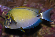 White-freckled Surgeonfish, Acanthurus maculiceps.