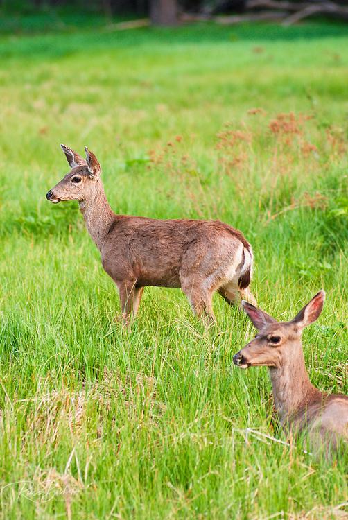 Mule deer (Odocoileus hemionus), Yosemite National Park, California