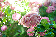 flowering Pink Hortensia flower. Photographed in Saint-Bertrand-de-Comminges, France