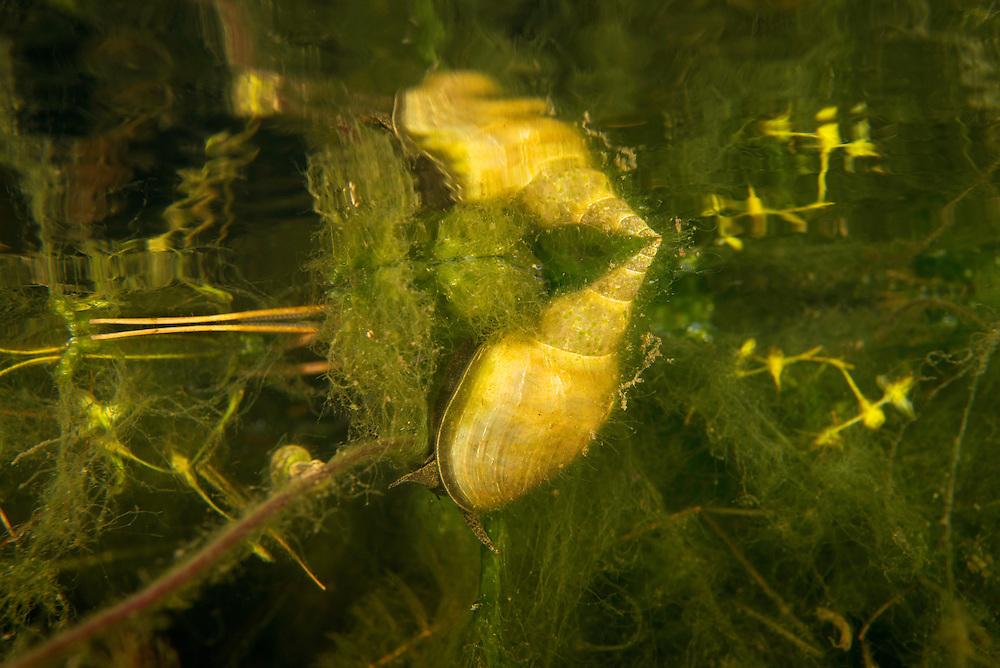 Great pond snail (Lymnaea stagnalis) in a soft hornwort (Ceratophyllum submersum) landscape, Danube, Danube Delta, Romania.