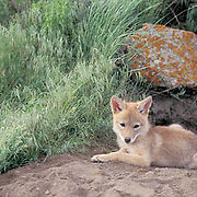 Coyote, (Canis latrans) Portrait of pup near den.  Rocky mountains. Montana. Captive Animal.