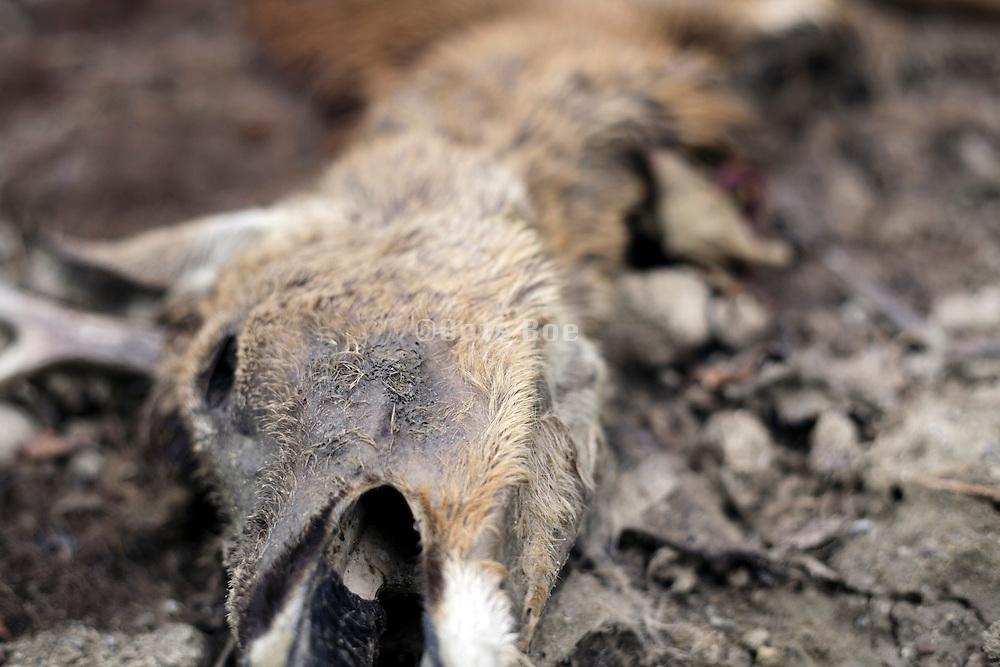 head of dead decomposing deer