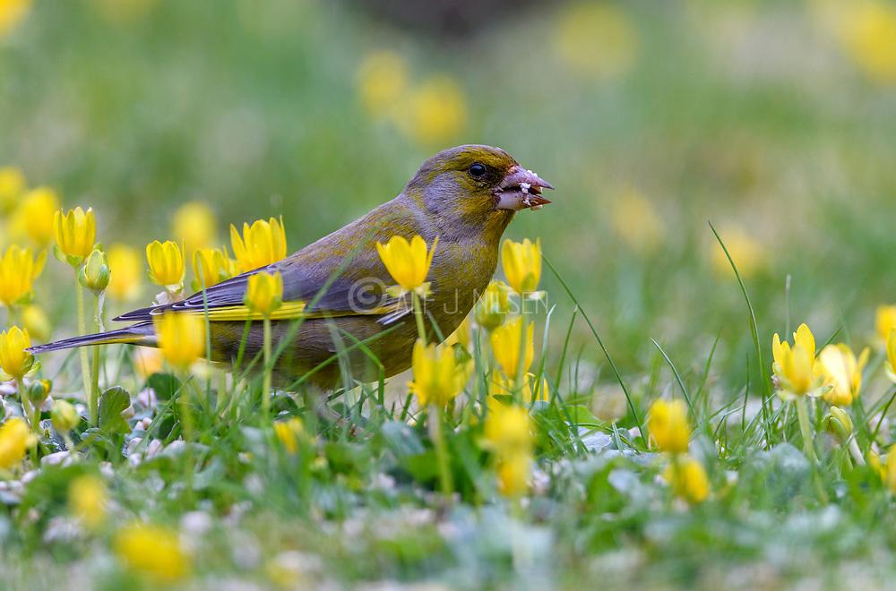 Male Greenfinch (Carduelis chloris) from Hidra, south-western Norway.