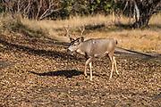 Yosemite Valley Mule Deer in Winter