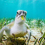 A green turtle (Chelonia mydas) feeding on a type of seagrass called turtlegrass (Thalassia testudinum) in The Bahamas.