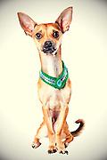 Sacramento city animal shelter chihuahua gets his photo taken.