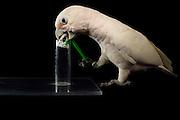 [captive] Goffin's cockatoo needs to form a hook from a flexible stick in order to seize a small basket with a nut. It learns to adapt a tool. Goffin's cockatoos or Tanimbar Corellas are endemic to the Tanimbar archipelago in Indonesia. Research on their cognitive abilities is done in the Goffin Lab (Lower Austria) by Dr. Alice M. I. Auersperg. | Der Goffinkakadu (Cacatua goffiniana) muss sich selbst einen Haken zurecht biegen, um ein Körbchen mit einer Nuss zu angeln. In diesem Versuch lernt er Werkzeug anzupassen. Der Goffinkakadu ist eine Papageienart und kommt in freier Wildbahn ausschließlich auf der indonesischen Inselgruppe Tanimbar vor. Forschung zu kognitiven Fähigkeiten des Goffinkakadus wird im Goffin Lab (Niederösterreich) von Dr. Alice M. I. Auersperg durchgeführt.
