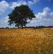 A3AAK8 Tree in field of golden barley Suffolk England