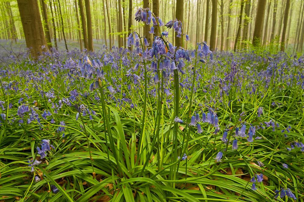 Bluebells Hyacinthoides non-scripta in Hallerbos forest ground at dawn, Belgium